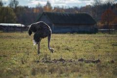 Στάσεις στρουθοκαμήλων σε ένα αγρόκτημα και την έρευνα στρουθοκαμήλων των τροφίμων στοκ φωτογραφία με δικαίωμα ελεύθερης χρήσης