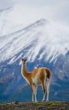 Στάσεις Guanaco στο λόφο του σκηνικού βουνών των χιονωδών αιχμών del paine torres Χιλή Στοκ Φωτογραφίες