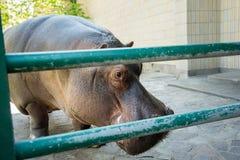 Στάσεις Hippopotamus σε ένα κλουβί Στοκ φωτογραφίες με δικαίωμα ελεύθερης χρήσης