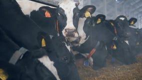 Στάση αγελάδων σε μια σειρά σε ένα υπόστεγο, που τρώει το σανό φιλμ μικρού μήκους