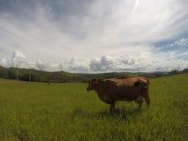 Στάση αγελάδων Στοκ Εικόνα