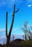 Στάση γιγαντιαίος στο εθνικό πάρκο Saguaro Στοκ φωτογραφία με δικαίωμα ελεύθερης χρήσης