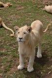 Στάση λιονταρινών στοκ φωτογραφία