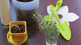 Στάση κλάδων της Rosemary σε ένα ποτήρι του νερού Αναμονή την εμφάνιση των ριζών Κοντά στα εργαλεία για τη μεταμόσχευση και το δο απόθεμα βίντεο