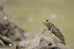 στάση λάσπης mudskipper Στοκ Εικόνα