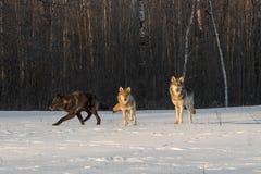 Στάση Λύκου Canis τριών γκρίζα λύκων το χειμώνα τομέων στοκ εικόνες με δικαίωμα ελεύθερης χρήσης