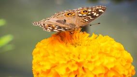 Στάση πεταλούδων στο κίτρινο λουλούδι Στοκ Εικόνα