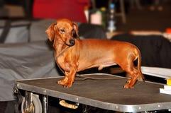 Στάση σκυλιών Dachshund Στοκ φωτογραφίες με δικαίωμα ελεύθερης χρήσης