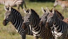 Στάση τεσσάρων zebras από κοινού Κένυα Τανζανία Εθνικό πάρκο serengeti Maasai Mara Στοκ Εικόνες