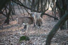 Στάση Deers Στοκ φωτογραφίες με δικαίωμα ελεύθερης χρήσης
