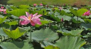 Στάση Lotus μόνη Στοκ Εικόνα