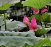 Στάση Lotus μόνη Στοκ φωτογραφία με δικαίωμα ελεύθερης χρήσης