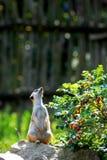 Στάση meerkat Στοκ εικόνες με δικαίωμα ελεύθερης χρήσης