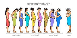 Στάδια εγκυμοσύνης γυναικών απεικόνιση αποθεμάτων