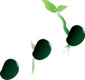 Στάδια της ανάπτυξης του φυτού Στοκ εικόνα με δικαίωμα ελεύθερης χρήσης