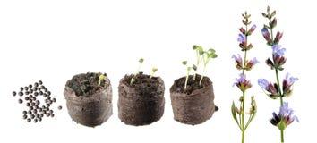 Στάδια της αύξησης του φυτού από το σπόρο στο ανθίζοντας φυτό Κύκλος ζωής των κοινών officinalis φασκομηλιάς ή Salvia Στοκ Φωτογραφία