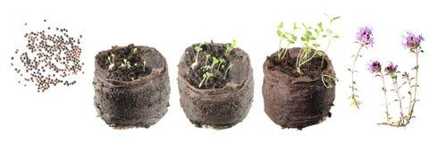 Στάδια της αύξησης του φυτού από το σπόρο στο ανθίζοντας φυτό Κύκλος ζωής του θυμαριού Στοκ Φωτογραφία