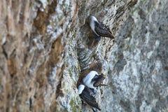 Στέρνα Inca, inca Larosterna, στον απότομο βράχο, Paracas, Περού Στοκ εικόνα με δικαίωμα ελεύθερης χρήσης