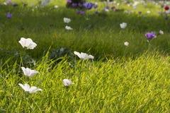 Στέψτε Anemone Στοκ εικόνες με δικαίωμα ελεύθερης χρήσης