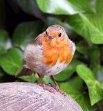 στήθος ο κόκκινος Robin που&lam Στοκ εικόνες με δικαίωμα ελεύθερης χρήσης