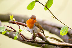 στήθος ο κόκκινος Robin Στοκ Φωτογραφίες