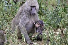Στήθος - ταΐζοντας baboon μωρών στοκ φωτογραφία
