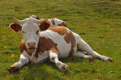 στήριξη αγελάδων Στοκ φωτογραφία με δικαίωμα ελεύθερης χρήσης
