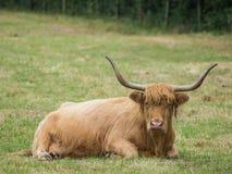 Στήριξη βοοειδών ορεινών περιοχών Στοκ φωτογραφίες με δικαίωμα ελεύθερης χρήσης