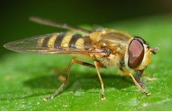Στήριξη εντόμων Hoverfly στοκ φωτογραφίες