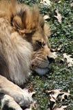 στήριξη λιονταριών Στοκ Εικόνα