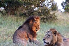 στήριξη λιονταριών Στοκ Φωτογραφία