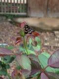 στήριξη πεταλούδων Στοκ Εικόνες