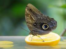 στήριξη πεταλούδων Στοκ Εικόνα