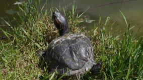 Στήριξη χελωνών Στοκ φωτογραφίες με δικαίωμα ελεύθερης χρήσης