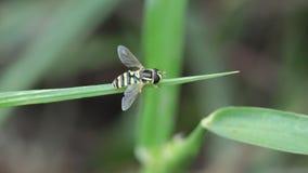 Στήριξη florea Apis απόθεμα βίντεο