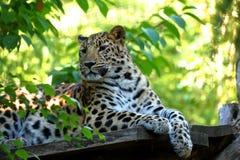 Στήριξη pardus Panthera λεοπαρδάλεων Στοκ Φωτογραφία