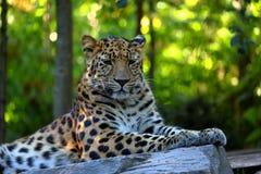 Στήριξη pardus Panthera λεοπαρδάλεων Στοκ φωτογραφίες με δικαίωμα ελεύθερης χρήσης