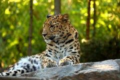Στήριξη pardus Panthera λεοπαρδάλεων Στοκ εικόνες με δικαίωμα ελεύθερης χρήσης
