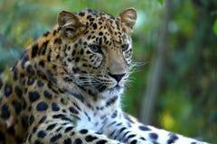 Στήριξη pardus Panthera λεοπαρδάλεων Στοκ Φωτογραφίες
