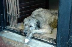 Στήριξη Wolfhound Στοκ Εικόνες