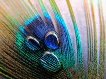 Σταγονίδια νερού σε ένα φτερό Peacock στοκ εικόνα