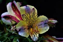 Σταγονίδια νερού σε περουβιανό Lillies στοκ εικόνες