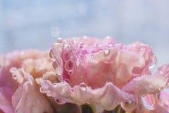 Σταγονίδια νερού στα πέταλα ενός ρόδινου λουλουδιού στο φωτεινό φως του ήλιου στοκ φωτογραφία