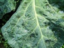 Σταγονίδια νερού στα φύλλα λάχανων στοκ εικόνα