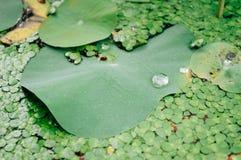 Σταγονίδια νερού στα φύλλα λωτού στοκ εικόνες