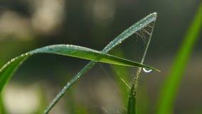 Σταγονίδια νερού στην πράσινη χλόη, φρεσκάδα πρωινού, κινηματογράφηση σε πρώτο πλάνο φύσης φιλμ μικρού μήκους