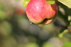 Σταγονίδια στη Apple Στοκ φωτογραφία με δικαίωμα ελεύθερης χρήσης