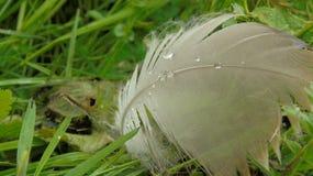 Σταγονίδια και φτερό χήνων στοκ φωτογραφία με δικαίωμα ελεύθερης χρήσης