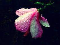 Σταγονίδια νερού σε ένα πίσω λουλούδι άποψης σε ένα βράδυ στοκ εικόνα