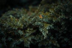 Σταγονίδια στις βελόνες δέντρων έλατου Στοκ Εικόνα